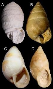 The first snail species found in Itaboraí. A. Brasilennea arethusae (shell height = 21 mm). B. Bulimulus fazendicus (16.5 mm). C. Eoborus sanctijosephi (44.5 mm). D. Itaborahia lamegoi (30 mm).